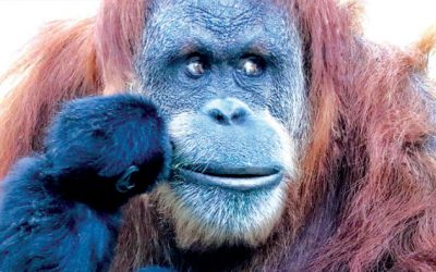 Great apes receive Covid-19 vaccine
